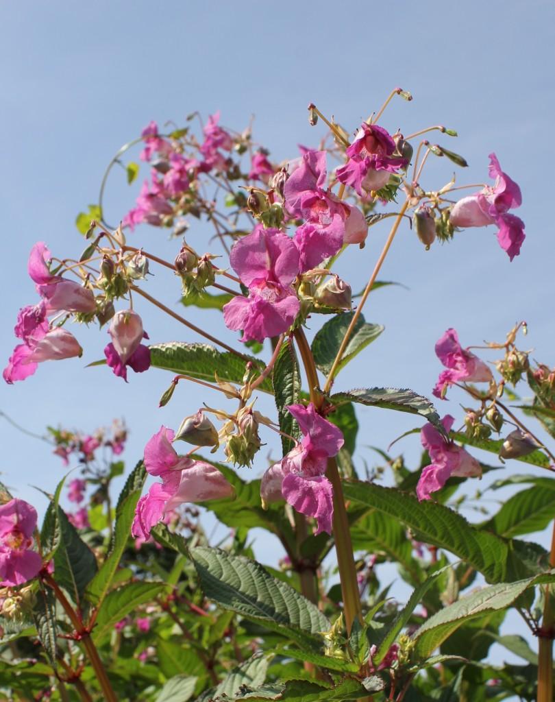 HB flowers at Alverstone Bridge 16 07 13