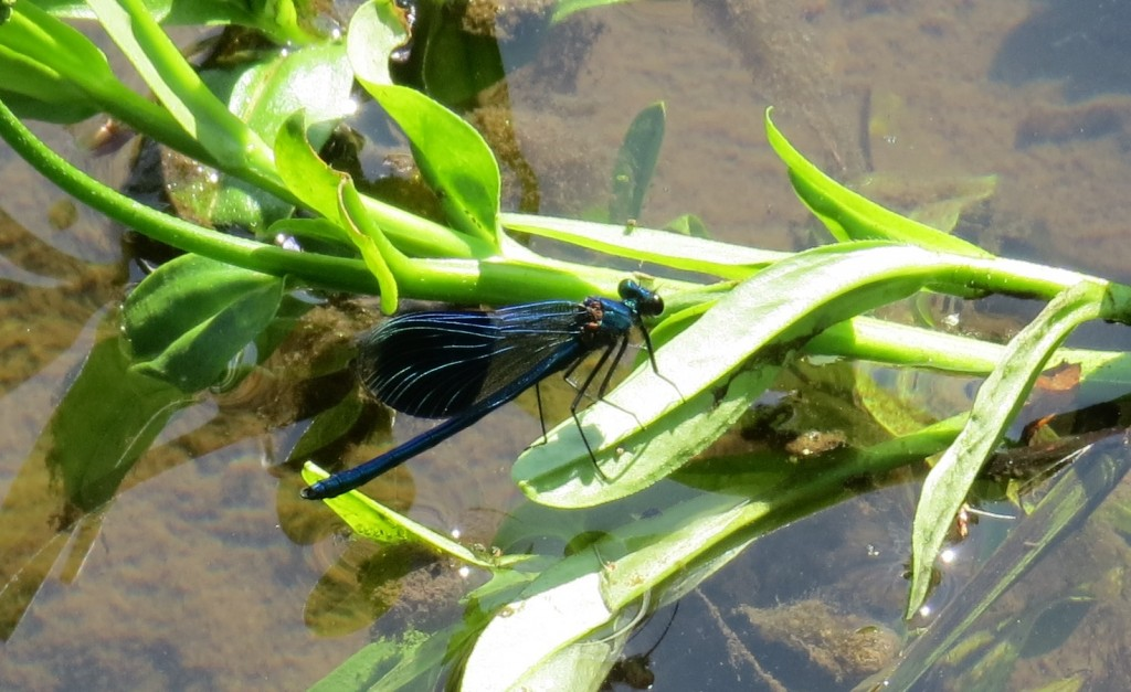Banded Demoiselle Wroxall Stream, IW 08 Aug 15
